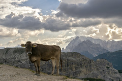 DSC_8337 (littleirons) Tags: panorama landscape lavaredo tre cime trecime alpi mucca animale montagne