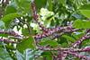 Bocquillonia sessiliflora (Ben Caledonia) Tags: nouvellecalédonie newcaledonia cauliflorous cauliflory pinkflowers bocquilloniasessiliflora bocquillonia euphorbiaceae