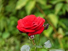 Flowers (janepesle) Tags: flowers macro botanic nature rose red