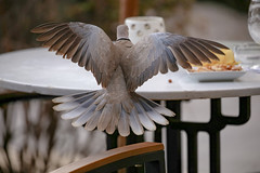 All dressed up for dinner (Paul Wrights Reserved) Tags: dove doves colloareddove dinner lunch table chair bokeh wing wings display feathers feather dinnerdate date food