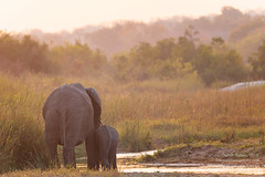 Mother and Daughter (Animal-scapes 1) (Dwood Photography) Tags: mother daughter animalscapes 1 motheranddaughteranimalscapes1 motheranddaughter dwoodphotography dwoodphotographycom elephants elephant 2018 south africa southafrica gold golden yellow grey gray river green wildlife