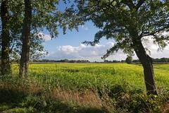 Blühender Senf mit Bäumen (antje whv) Tags: bäume trees senf mustard landwirtschaft agriculture path landschaft landscape burmönken norddeutschland northerngermany
