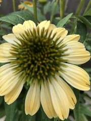 c2018 Sept 28, Yellow Coneflowers IPhoneography 10 (King Kong 911) Tags: coneflowers hibiscus asters purslane plants growing green petals blooming