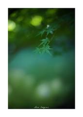 2018/8/25 - 4/27 photo by shin ikegami. - SONY ILCE‑7M2 / 七工匠  7artisans 50mm f1.1 (shin ikegami) Tags: 紅葉 sky 空 macro マクロ 井の頭公園 吉祥寺 summer 夏 asia sony ilce7m2 sonyilce7m2 a7ii 50mm 七工匠 7artisans 7artisans50mmf11 tokyo photo photographer 単焦点 iso800 ndfilter light shadow 自然 nature 玉ボケ bokeh depthoffield naturephotography art photography japan earth