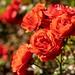 Compton Castle roses