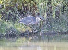 Heron (fotofrysk) Tags: greatblueheron ardeaherodias heron waterbird meal pray snack fish pond stormpond reeds green nature canada ontario markham city afsnikkor200500mm56eed nikond500 20180922462