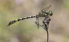 Small Pincertail (Onychogomphus forcipatus). (Bob Eade) Tags: smallpincertail dragonfly odonata insect bulgaria summer male