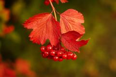 Red autumn (Ruslan Daniluk) Tags: autumn leaf berry bush nature ukraine minolta50af