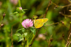 7K8A4824 (rpealit) Tags: scenery wildlife nature weldong brook management area orange sulphur butterfly