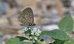 Lang's Short-tailed Blue Butterfly      (Leptotes pirithous) (nick.linda) Tags: langsshorttailedbluebutterfly leptotespirithous tails whiteflowers wildandfree spain butterflies butterfliesonflowers canon7dmkii canon100400