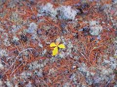 Another little oak. (ParkNeukPack) Tags: sx60 canon culbinforest oaktree