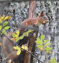 Red Squirrel (Sciurus vulgaris) (eerokiuru) Tags: redsquirrel sciurusvulgaris orav p900 nikoncoolpixp900
