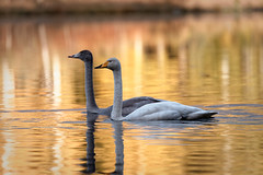 Laulujoutsenia / Whooper Swans (Tuomo Lindfors) Tags: iisalmi finland suomi laulujoutsen whooperswan lintu bird kangaslampi vesi water dxo filmpack myiisalmi joutsen swan