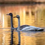 Laulujoutsenia / Whooper Swans thumbnail