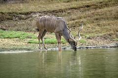 pause that refreshes (ucumari photography) Tags: ucumariphotography greaterkudu tragelaphusstrepsiceros antelope animal mammal metro richmond virginia va zoo october 2018 dsc9865 specanimal