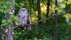 Barred Owl - Strix varia | 2018 - 10 (RGL_Photography) Tags: barredowl birds birdsofprey birdwatching gardenstate greatswamp morriscounty mothernature nature newjersey nikonafs600mmf4gedvr nikond810 northernbarredowl ornithology owls raptors strixvaria us unitedstates wildlife wildlifephotography