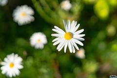 Flower in Blue garden in Seoul Guro 2 (Tachial) Tags: fe carlzeiss lce7rm3 sony fullframe flower sel55f18z a7r3 55mm 구로구 서울특별시 대한민국 kr