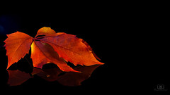 Leaf in the Dark (Zsolt Szitai) Tags: object photography photo canon canon450d 450d canonphotography leaf autumn fall dark black background reflection kit lens lightbox