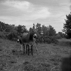Donkey, Muli (salparadise666) Tags: mamiya c330 sekor 80mm orange filter fomapan 100 caffenol rs 13min nils volkmer vintage analogue tlr medium format film camera 6x6 france ardeche region cevennes mirabel bw black white monochrome nature landscape rural square