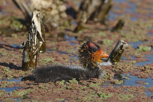 """Red-knobbed Coot (or Crested Coot), Fulica cristata, with young,  at Marievale Nature Reserve, Gauteng, South Africa • <a style=""""font-size:0.8em;"""" href=""""http://www.flickr.com/photos/93242958@N00/44504919574/"""" target=""""_blank"""">View on Flickr</a>"""