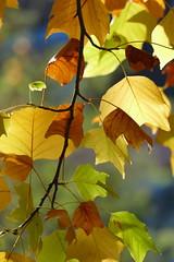 AUTUMN COLOURS (beatawozniak1968) Tags: natura autumn fall leaf leaves colours foliage seasons colourful closeups