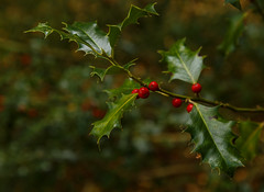 colour (Robby van Moor) Tags: colour holly woord flora red green christmas symbol