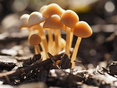 by the path (Johnson Cameraface) Tags: 2018 september autumn olympus omde1 em1 micro43 mzuiko 60mm macro f28 johnsoncameraface mushroom fungi toadstool