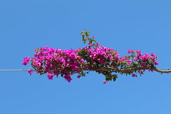hanging on by a thread (Grenzeloos1) Tags: bougainvillea pink