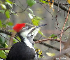 Pileated Woodpecker (Rutland County Audubon) Tags: 2018 fall vermont woodpecker pileatedwoodpecker rutlandcounty rutlandcountyaudubon rutlandtown