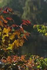 St James gold (dwimagesolutions) Tags: england london stjamespark autumn autumncolours indiansummer nikond200 nikkor85mmf18g