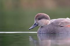 Gadwall Portrait (ayres_leigh) Tags: bird duck gadwall ontario canon gaddy nautre wildlife humber
