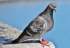 the Dove (Hugo von Schreck) Tags: hugovonschreck dove taube vogel bird canoneos5dsr tamron28300mmf3563divcpzda010