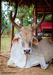 Cow (Andrew Parmanand) Tags: cuba zoo animal animals cow bull