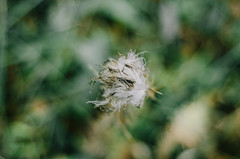 Autumn feeling (Dragos Ness) Tags: dandelion macro nature beautiful canvas portrait wallpaper backgroun autumn