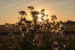 Heath (Spannarama) Tags: goldenhour sunlight sunshine golden heath london uk plants backlit glowing blackheath grass evening twilight eveninglight