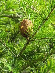 Keteleeria davidiana (wallygrom) Tags: england westsussex haywardsheath handcross nymans nymansgarden nt nationaltrust