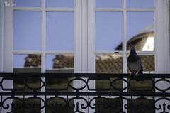 Porto - Portugal (MarianDiazRAM) Tags: 2018 aves nikond5100 oporto palomasdomésticas portugal primavera urbanbird