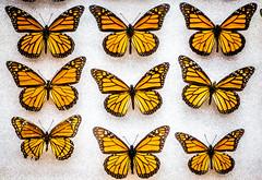 Collections (Thomas Hawk) Tags: america citymuseum citymuseumstlouis missouri stlouis usa unitedstates unitedstatesofamerica butterfly us fav10 fav25 fav50