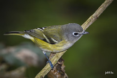 Blue-headed Vireo (jt893x) Tags: 150600mm bird blueheadedvireo d500 jt893x nikond500 sigma sigma150600mmf563dgoshsms songbird vireo vireosolitarius alittlebeauty coth thesunshinegroup coth5 sunrays5