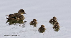 Grey Teal with Ducklings (rebecca bowater nature photographer) Tags: water pond teal ducklings