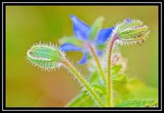 """Two Together"" 2DWF / 26/100 for ""100 Flowers 2018"" (NikonShutterBug1) Tags: nikond7100 tokina100mm nature wildlife bokeh spe smartphotoeditor closeup macro flower flora 100flowers2018 2dwf twotogether blue green sundaylights"