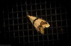 Atheropla esthlopis (dustaway) Tags: arthropoda insecta lepidoptera tamborinemountain mounttamborine sequeensland queensland australia nature natur oecophoridae oecophorinae atheroplaesthlopis australianmoths australianinsects
