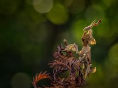 We Are Groot (Kathy Macpherson Baca) Tags: nature macro mantis world planet earth invertebrates praying extinction predator sun light insect green