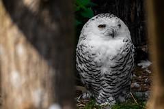 Snow owl (kevin.schmid) Tags: snow owl belgium canon photography
