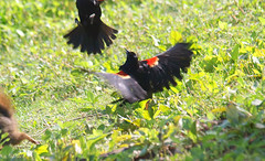 Red-winged Blackbird Death Match 6 (Kaptured by Kala) Tags: agelaiusphoeniceus redwingedblackbird blackbird maleredwingedblackbird whiterocklake dallastexas sunsetbay loud noisy closeup battle fighting territorial aggressive