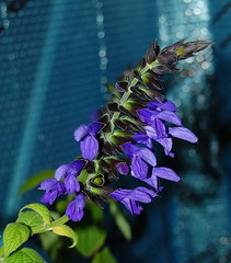 Salvia coerulea (longk48) Tags: salvia coerulea