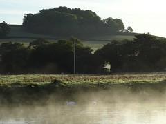Feeding in the mist (Phil Gayton) Tags: water grass field copse sky bird mute swan cygnusolor snipe island river dart totnes devon uk landscape mist