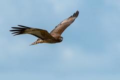 Spotted Harrier (Jeff_Warner) Tags: nikon200500f56 nikond500 spottedharrier birdsofpray birdsinflight