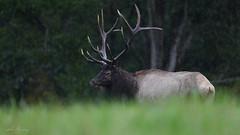 Bull Elk (johnbacaring) Tags: elk bull bullelk benezette rain wildlife nature canonphotography natgeoyourshot natgeo