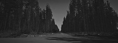 Belanglo State Forest iii (@fotodudenz) Tags: hasselblad xpan film rangefinder 30mm ultra wide angle panorama panoramic 2018 35mm ilford xp2 super sydney nsw new south wales australia belanglo state forest trees eerie